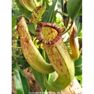 Nepenthes Pitcher Plant thumbnail