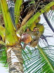 Picking Coconut