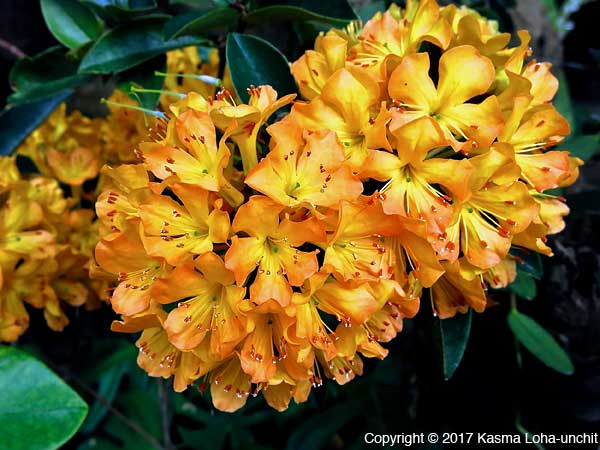 Rhododendron]