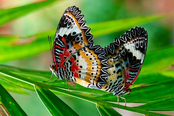 Two resting butterflies