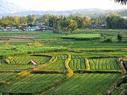 Pua Rice Fields